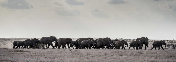 A herd of elephants walks through the savannah; copyright: Wildhood Foundation